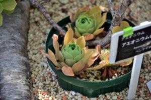 植物園 サボテン温室 多肉植物 アエオニウム