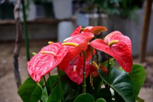 植物園 アンスリウム