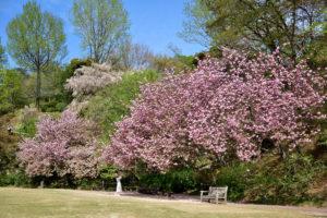 植物園 広場 八重桜