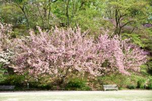 植物園 八重桜 正面