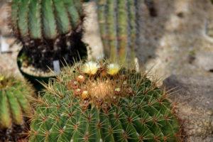 植物園 サボテン温室 金鯱 花