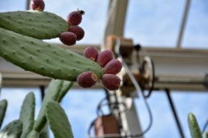 植物園 サボテン温室 サボテンの実
