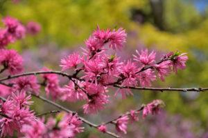 植物園 菊桃