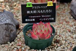 植物園 サボテン温室 多肉植物 桃太郎