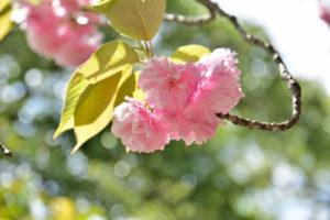 植物園 濃いピンク 八重桜