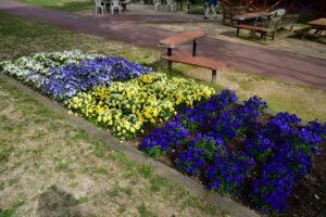 植物園 パンジー 花畑