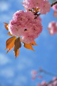 植物園 八重桜 青い空