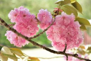植物園 八重桜 アップ