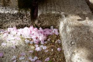 植物園 蛇口 桜 花びら