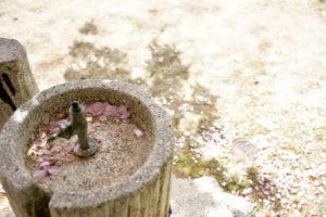 植物園 水飲み場 桜 花びら