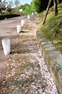 植物園 道端 桜 花びら