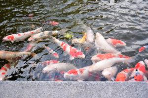 植物園 噴水池 鯉