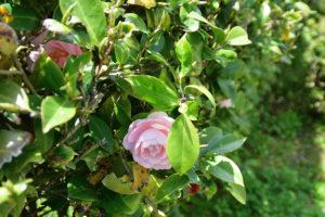 植物園 ピンク ツバキ