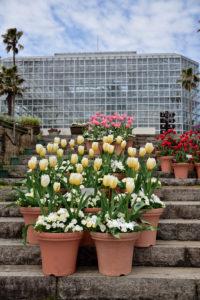 植物園 チューリップ 階段