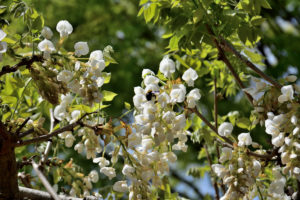 植物園 白い藤 クマバチ