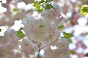 植物園 薄いピンク 八重桜