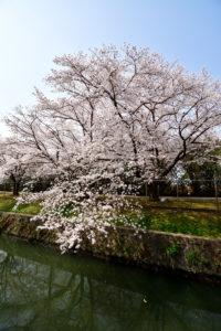 自衛隊の桜 10-20mm