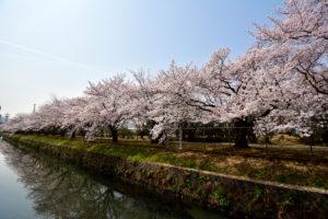 満開 の桜 自衛隊