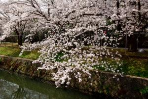 自衛隊の桜 20mm