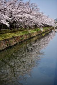 自衛隊の桜 40mm