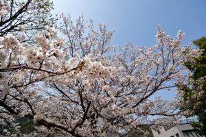 瀬野川の桜 10mm