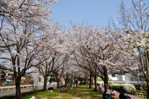 瀬野川の桜 20mm