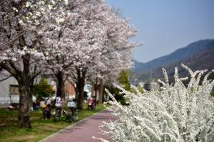 瀬野川の桜 40mm