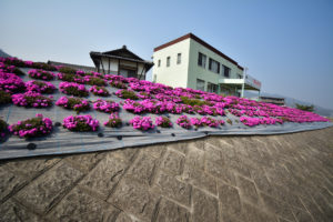 芝桜 10mm