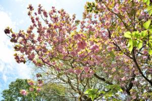 植物園 八重桜