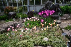 植物園 チューリップ