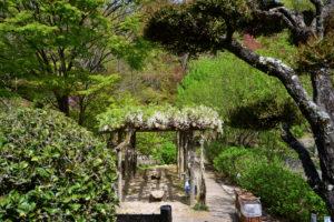 植物園 白い藤 藤棚