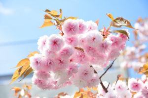 八重桜 露出補正 +1.3
