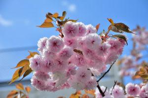 八重桜 編集