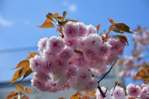 八重桜 普通に撮影