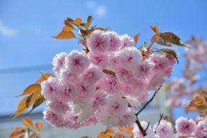 八重桜 シャドーを上げる