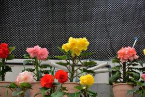 植物園 ベゴニア 蒸気システム