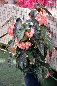 植物園 水玉模様 葉 ベゴニア