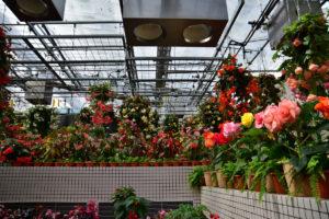 植物園 ベゴニア 満載