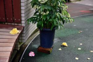 植物園 花ごと落ちた ベゴニア
