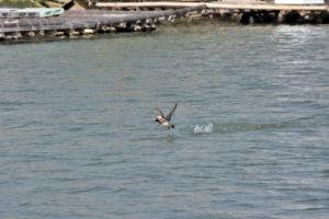 TAMRON カモの飛翔