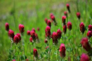 YONGNUO 紅花詰草