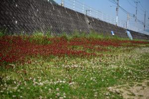紅花詰草 シロツメクサ