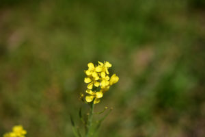 菜の花 マクロ