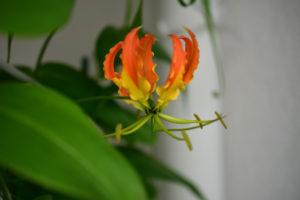 グロリオサ 開花